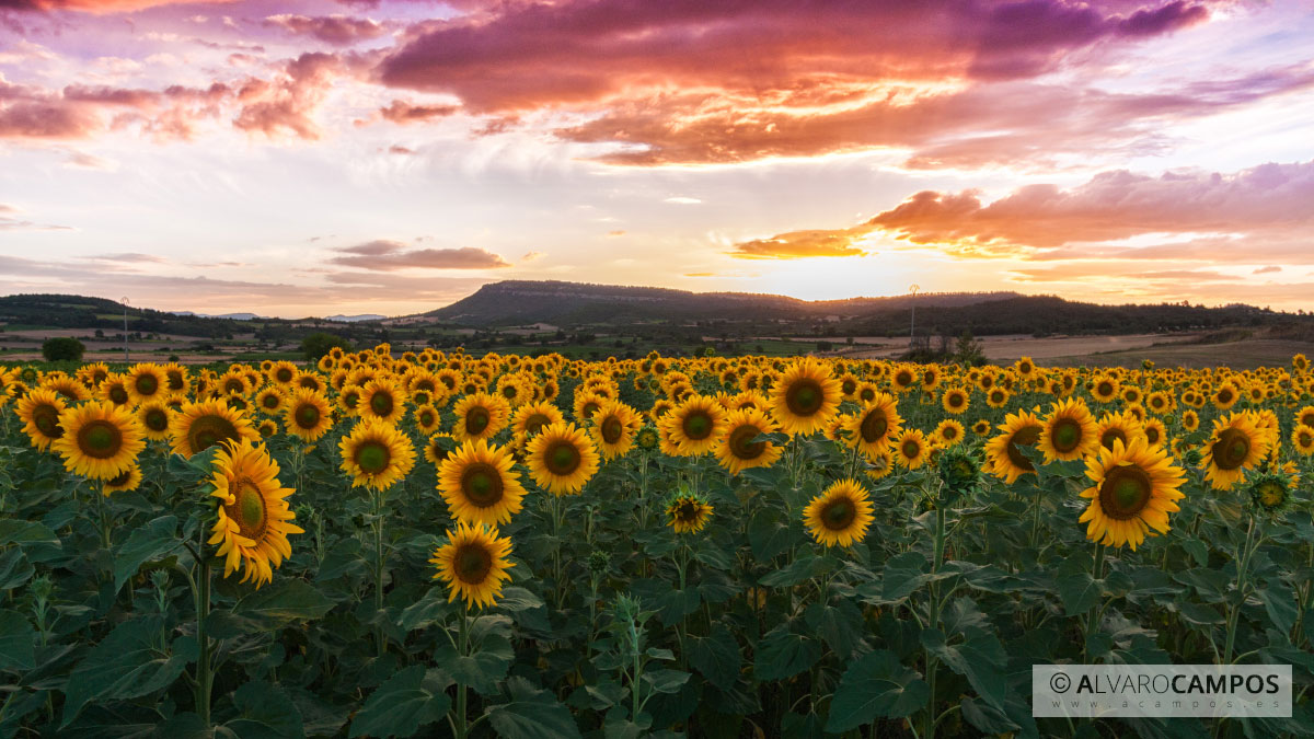 Girasoles / Sunflowers